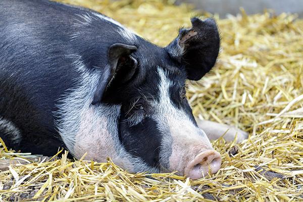 Berkshire Pig happily resting on straw